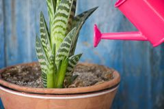 Little pink watering and succulent. Blue vintage background.  Stock Photo