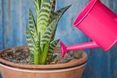 Little pink watering and succulent. Blue vintage background.  Royalty Free Stock Images