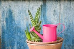 Little pink watering and succulent. Blue vintage background.  Stock Photography