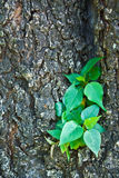 Little pipal on old big tree Stock Photo
