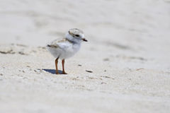 Little Piping Plover Royalty Free Stock Photo