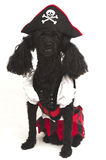 Little Pirate. A poodle dressed up like a pirate isolated on a white background Royalty Free Stock Photo