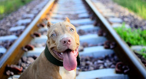 Little Pit Bull. Playful cute. But I already heavy Stock Image