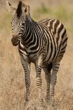 Little Plains Zebra Royalty Free Stock Images