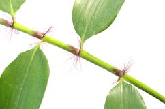 Little plant bamboo Royalty Free Stock Photography