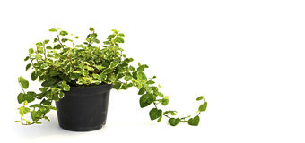 Little plant in a black pot. Isolated Stock Images