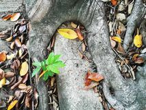 Little plant grow on the root of banyan tree. Concept for survive and adaption Royalty Free Stock Photography