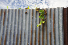 Little plant grow on rust metal sheet Royalty Free Stock Images