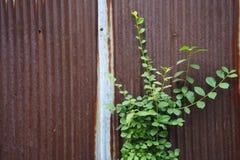 Little plant grow on rust metal sheet Royalty Free Stock Photos