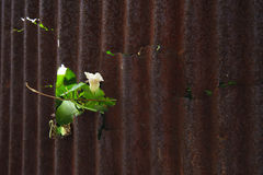 Little plant grow on rust metal sheet Royalty Free Stock Photography