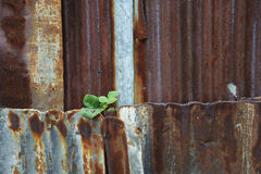 Little plant grow on rust metal sheet Stock Photography