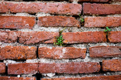 The little plant grow up in red brick wall , texture grunge background. Stock Image