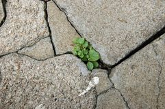 Little plant growing between tiles Royalty Free Stock Photography