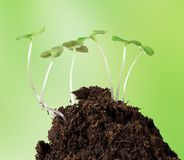 Little plants on clod of soil Stock Images