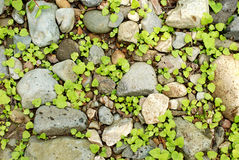 Little plants between rocks Royalty Free Stock Images