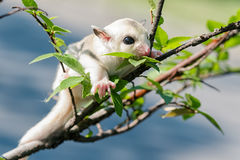Little platinum mosaic  sugar-glider Royalty Free Stock Images