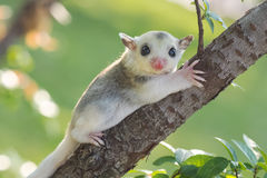 Little platinum mosaic  sugar-glider. In the branchl Stock Photos