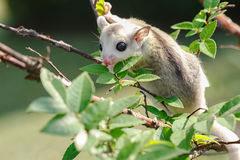 Little platinum mosaic  sugar-glider Stock Photos