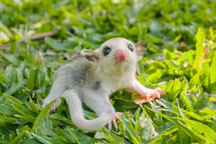 Little platinum mosaic  sugar-glider Stock Image