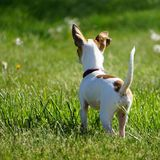 Little playful Chihuahua Royalty Free Stock Images