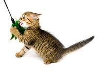 Little playful kitten Royalty Free Stock Photo