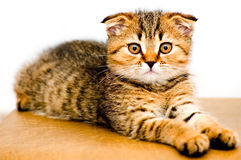 Little playful kitten Royalty Free Stock Image