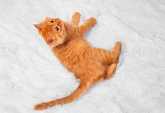 Red kitten on a white background plays looks lies royalty free stock photos