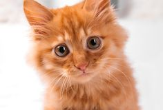 Red kitten on a white background plays looks lies royalty free stock image
