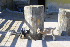 Little playing goats Stock Photos