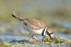 Little Plover with shrimp in beak. Royalty Free Stock Photo