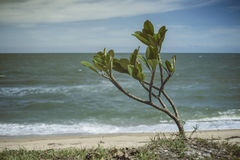 Little Plumeria tree near a beach,blurred sand and sea with blue sky in background.  Royalty Free Stock Photography