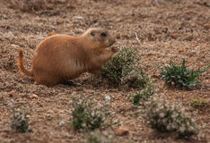 Little plump marmots walking on the lawn. Image of little plump marmots walking on the lawn Stock Photography