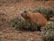 Little plump marmots walking on the lawn. Image of little plump marmots walking on the lawn Stock Image