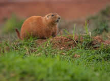 Little plump marmots walking on the lawn. Image of little plump marmots walking on the lawn Royalty Free Stock Photography