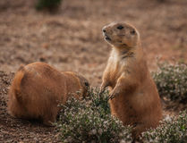 Little plump marmots walking on the lawn. Image of little plump marmots walking on the lawn Stock Photos
