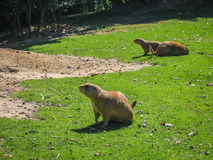 Little plump marmots walking on the lawn. Image of little plump marmots walking on the lawn Royalty Free Stock Photo