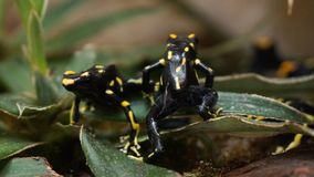 Little poison dart frogs on a leaf yellow black stock photo