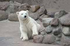 Little polar bear Royalty Free Stock Photos