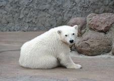 Little polar bear. One little white polar bear royalty free stock image