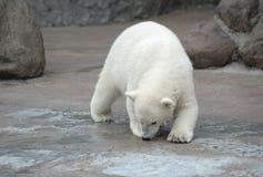 Little polar bear. Little white polar bear snuff Royalty Free Stock Photos