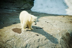 Little Polar Bear Stock Image
