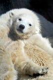 Little polar bear cub having a rest stock photography
