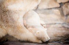 Little polar bear cub having a rest Stock Image