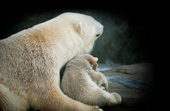 Little polar bear cub with his mom Royalty Free Stock Images