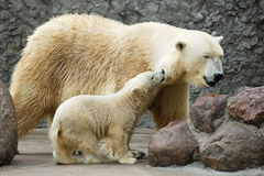 Little polar bear and his mom Stock Image