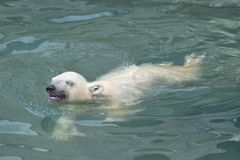 Little polar bear swimming Royalty Free Stock Photo