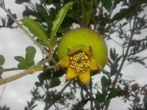 Little pomegranate stock photo