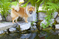Little pomeranian puppy by the lake Stock Photos