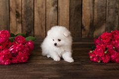 Little Pomeranian spitz-dogpuppy. It can be used as a background royalty free stock photos