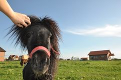 Pony with chain. Little pony profile portrait with chain Stock Images
